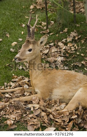 closeup of a deer - stock photo