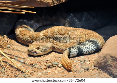 Closeup of a Diamond Rattle Snake lying under a rock in the desert - stock photo