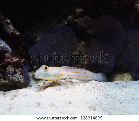 Closeup of a Diamond Watchman Goby sifting sand and swimming in his saltwater reef tank. - stock photo