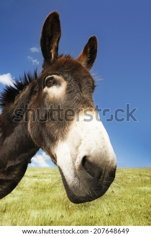 Closeup of a donkey in field against blue sky - stock photo