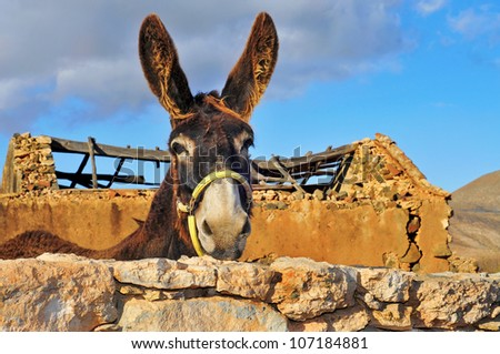 closeup of a donkey on an old farm - stock photo
