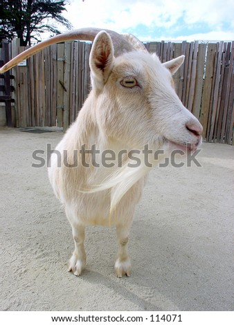 Closeup of a farm animal - stock photo