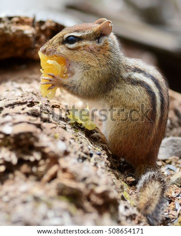 Closeup of a female chipmunk trying to put an orange segment in her mouth