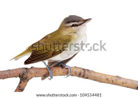 Closeup of a female gold finch - stock photo