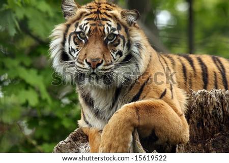 Closeup of a female Sumatran Tiger. - stock photo