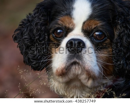 Closeup of a female tricolor Cavalier King Charles Spaniel, in the outdoors.