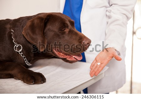 Closeup of a female veterinarian giving a pill to a brown labrador in a clinic - stock photo