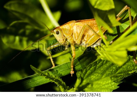 Closeup of a field grasshopper on green leaf; note shallow depth of field