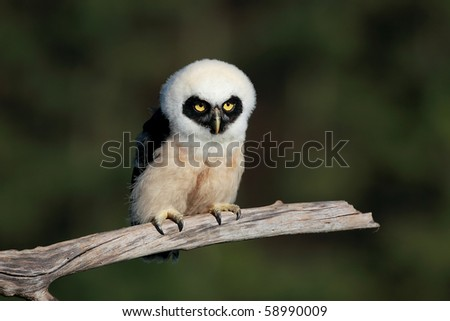 Closeup of a five-week old Spectacled Owlet. - stock photo