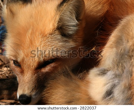 Closeup of a Fox