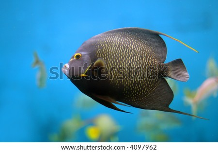 Closeup of a French Angelfish (Pomacanthus paru) - stock photo