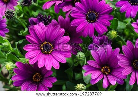 Closeup of a fresh bouquet purple daisies - stock photo