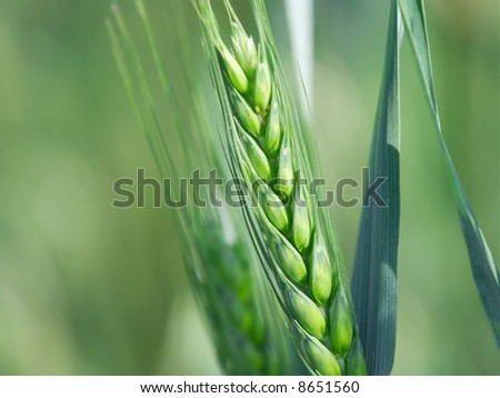 Closeup of a fresh green wheat plant - stock photo