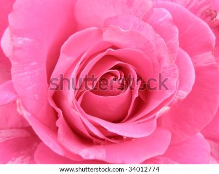 closeup of a fresh pink rose - stock photo