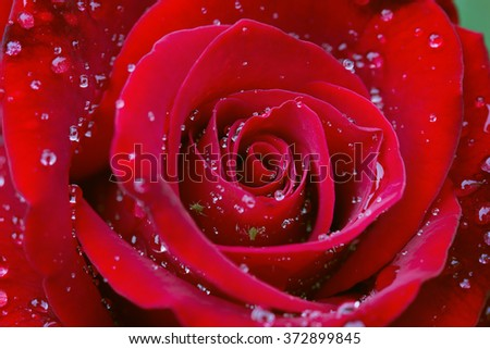 Closeup of a fresh rose head in the garden after rain - stock photo