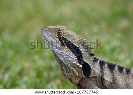 Closeup of a frill neck lizard, Australia - stock photo