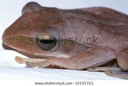 Closeup of a frog with gold and black colored eye
