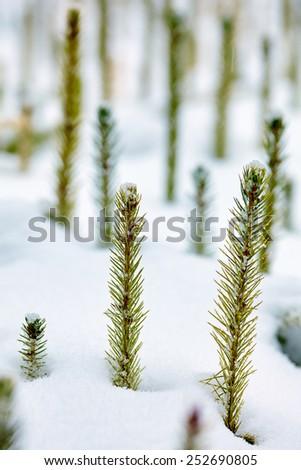 Closeup of a frozen baby fir in a nursery with selective focus - stock photo