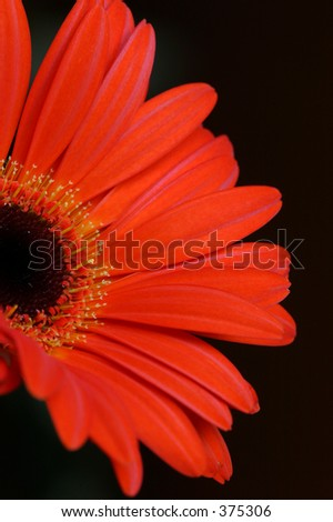 Closeup of a Gerbera flower