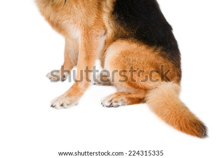 Closeup of a German shepherd's legs and tail. On white. - stock photo