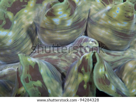 Closeup of a giant clam in the Andaman sea off of Thailand - stock photo