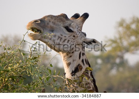 closeup of a giraffe eating leaves - stock photo