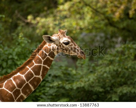 Closeup of a Giraffe head coming from the left side