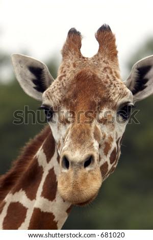 Closeup of a Giraffe head staring at camera. - stock photo