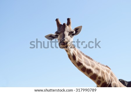 Closeup of a giraffe looking at the camera, on a beautiful sunny day. - stock photo