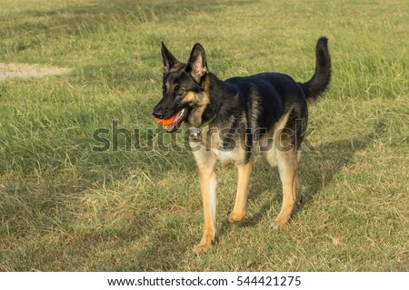 Closeup of a gorgeous German shepherd mid-stride, carrying an orange ball in a game of fetch at the grassy area of a dog park