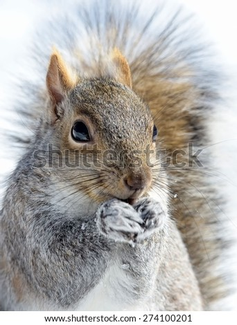Closeup of a gray squirrel in Winter