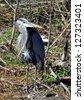 Closeup Of A Great Blue Heron (Ardea herodias) In Natural Habitat - stock photo
