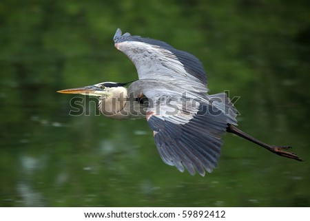 Closeup of a Great Blue Heron in flight. - stock photo