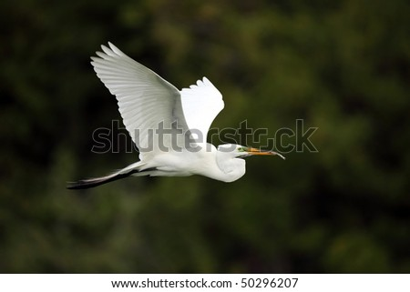 Closeup of a Great Egret in flight. - stock photo