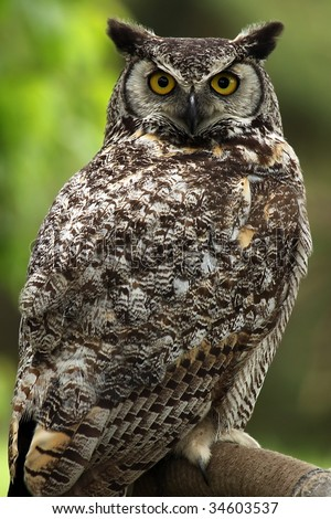 Closeup of a Great Horned Owl with a grumpy expression. - stock photo