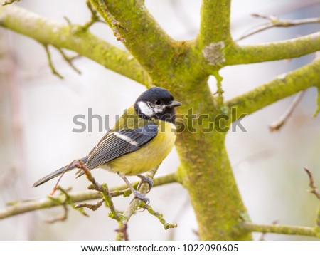 Closeup of a great tit bird sitting in a tree on a foggy day.