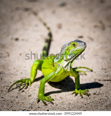 Closeup of a Green Iguana against a blurred dirt background