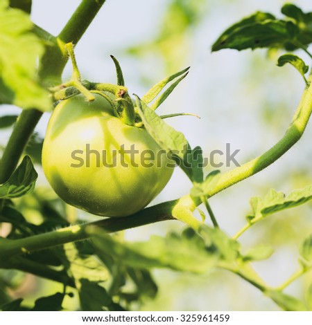 Closeup of a green tomato growing on a plant under the summer sun.