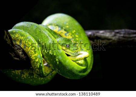 Closeup of a green tree python (Morelia viridis) - stock photo