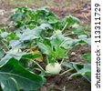 Closeup of a growing kohlrabi plant on agricultural Field - stock photo