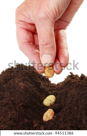 Closeup of a  hand planting broad bean seeds into a furrow in soil against a white background