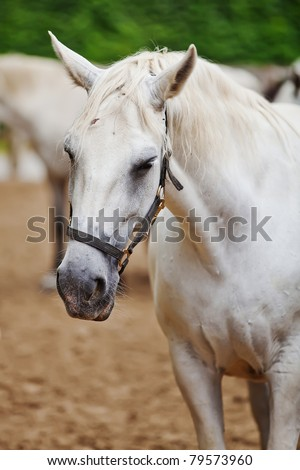 Closeup of a head of the white lipizzan horse in the lipizzan breading farm - stock photo