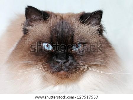 Closeup of a Himalayan cat's face - stock photo