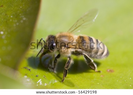 closeup of a honeybee