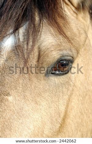 Closeup of a horse - palomino - in paddock - stock photo