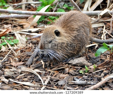 Closeup Of A juvenile Louisiana Nutria Rat (Myocastor coypus) - stock photo