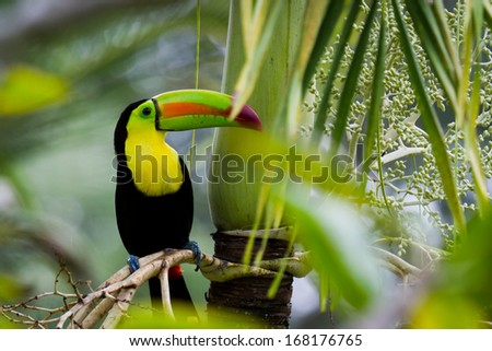 closeup of a keel billed toucan in the rain forest of Belize - stock photo