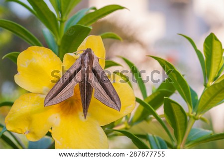 Closeup of a large brown moth rests on yellow flower  - stock photo