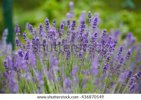 Closeup of a lavender bush in bloom