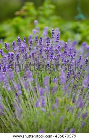 Closeup of a lavender bush in bloom - stock photo
